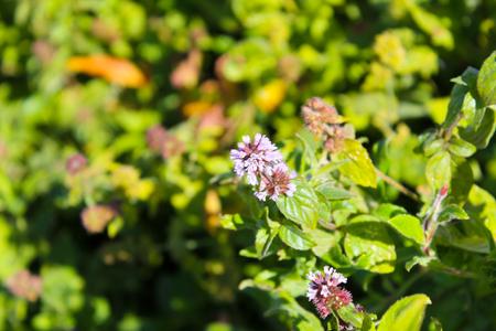 field mint: Wild mint flowers