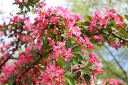 crab apple tree: Pink blossom tree