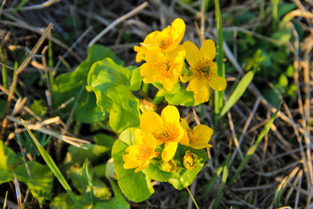 Marsh Marigold (Caltha palustris) on meadow