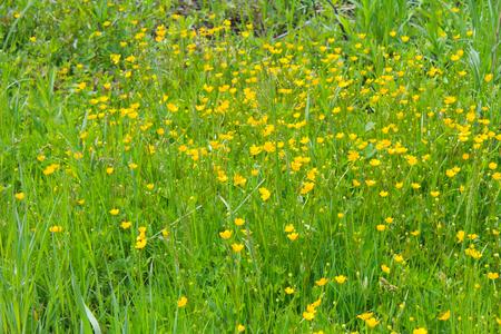 buttercups: Yellow buttercups on meadow