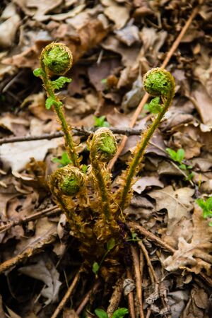 Sprouts of fern in forest Stock Photo