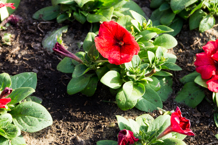 Petunia flowers on flowerbed Stock Photo