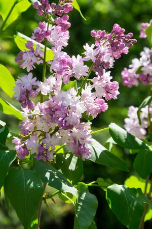 Purple lilac flowers on a bush Stock Photo