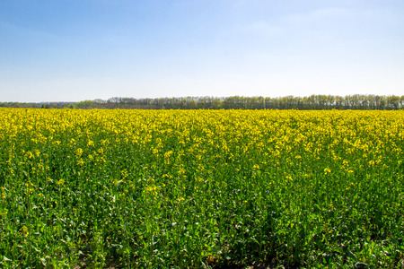 Field of yellow flowering rapeseed Stock Photo