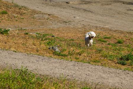 White bolognese dog in park
