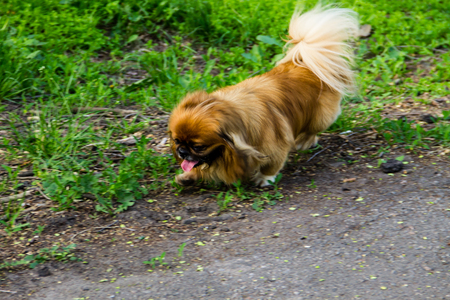 Pekingese dog in a park