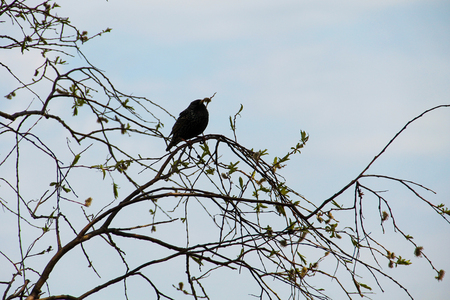 Common starling (Sturnus vulgaris) on tree branch