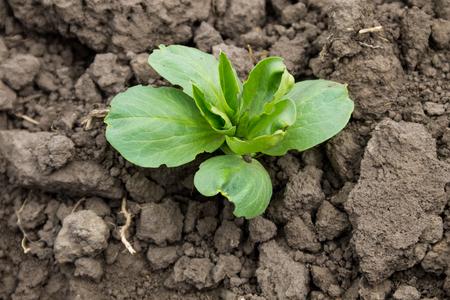 Broad beans seedling in vegetable garden Stock Photo