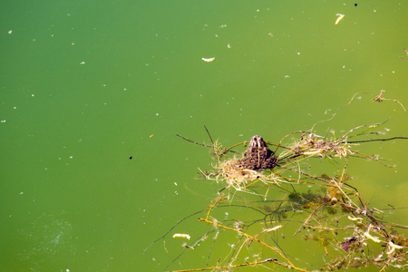 limnetic: Frog in water Stock Photo