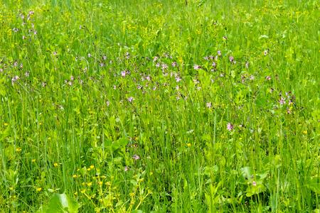 Coronaria flos-cuculi (Lychnis flos-cuculi) flowers Stock Photo