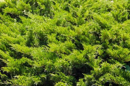 Natural background of the green juniper bushes Banque d'images