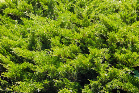 Natural background of the green juniper bushes Archivio Fotografico