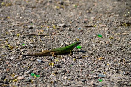 lacerta: Green lizard on grey asphalt road