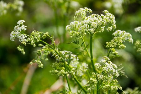 Water hemlock (Conium maculatum) flowers Imagens - 78598994