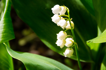 Lily of the valley (Convallaria majalis) white flowers in garden on spring