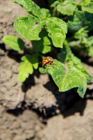 Colorado potato beetle (Leptinotarsa decemlineata on young potato plant Stock Photo
