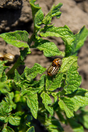 parasite: Colorado potato beetle (Leptinotarsa decemlineata on young potato plant Stock Photo