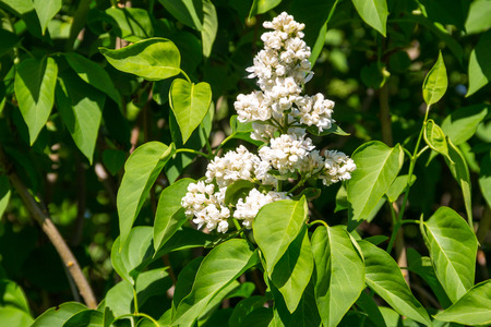 White lilac flowers on a bush Stock Photo