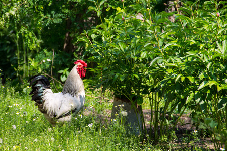 Rooster in a farmyard Stock Photo