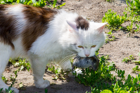 Cute cat hunter caught a mouse and holds in teeth outdoor
