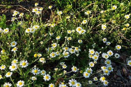 chamomilla: Meadow of officinal camomile flowers (Matricaria chamomilla)