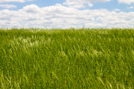 cultivate: Field of young green wheat