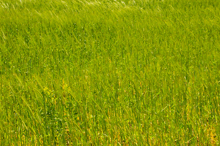 Field of young green wheat closeup