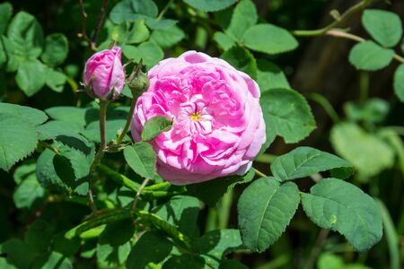 Pink rose on a bush in the garden