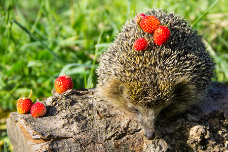 Young prickly hedgehog with strawberries on the log Stock Photo
