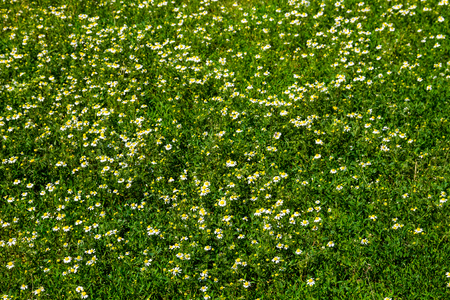 chamomile flower: Meadow of officinal camomile flowers (Matricaria chamomilla). Natural background
