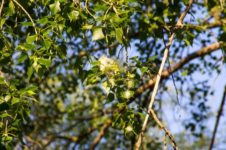 Poplar fluff on the branch closeup. Poplar fluff causes allergy Stock Photo