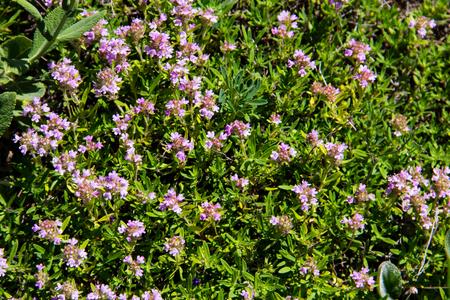 Wild thyme (Thymus vulgaris) on the meadow Reklamní fotografie