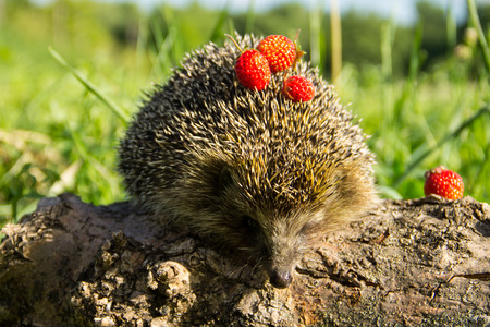 prick: Young prickly hedgehog with strawberries on the log Stock Photo