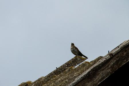 bird song: European Cuckoo (Cuculus canorus) on a roof Stock Photo
