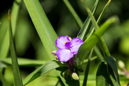 Virginia spiderwort (Tradescantia virginiana) in the garden