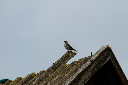 European Cuckoo (Cuculus canorus) on a roof Stock Photo