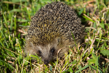 Young prickly hedgehog in green grass