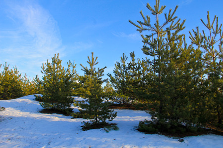 Green pine trees in the forest on winter Stock Photo