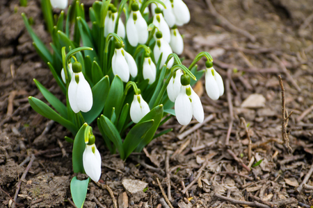 bulb fields: White snowdrop flowers (Galanthus nivalis) on early spring Stock Photo