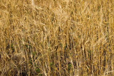 gold textured background: Field of ripe golden wheat close-up Stock Photo
