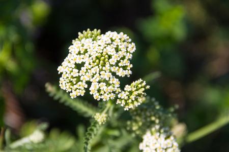 yarrow: White yarrow flower (Achillea millefolium). Medicinal plant