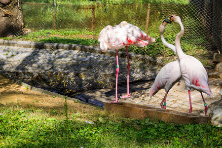 Greater flamingo (Phoenicopterus roseus) is the most widespread species of the flamingo family Stock Photo