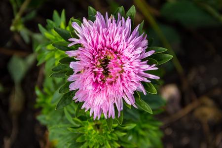 Pink aster flower on flowerbed in garden
