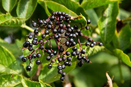 Black elderberry fruits (Sambucus nigra) close-up Stok Fotoğraf
