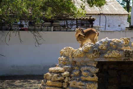 head protection: Female of European mouflon (Ovis musimon)