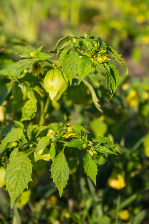 bee on flower: Tomatillo (Physalis philadelphica) or Mexican husk tomato. Solanaceae family Stock Photo