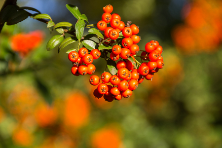 Orange autumn berries of Pyracantha with green leaves on a bush