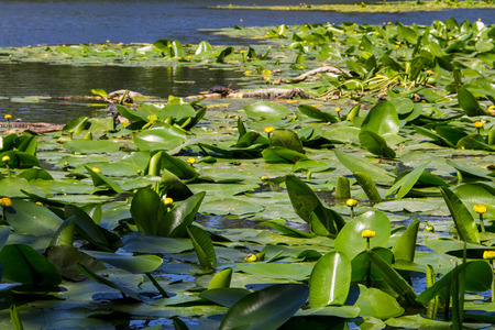 Yellow water flowers (Nuphar Lutea) in lake