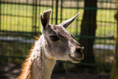 Lama guanaco (Lama guanicoe). Guanaco is a mammal of the genus Lam of the family of camelid. Is the ancestor of the domesticated llama