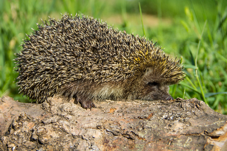 Young prickly hedgehog on the log